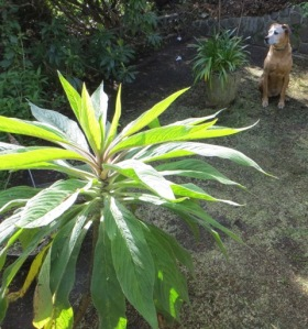 Dog of likely southern African descent poses with plant of possible southern African descent.